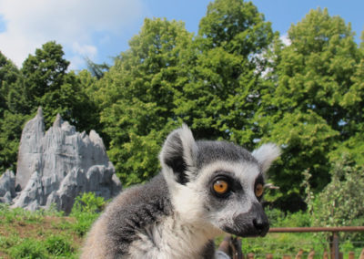 ZoomTorino-lemure_madagascar