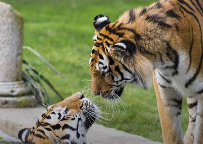 ZoomTorino-tigri